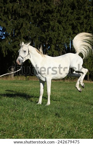 Beautiful white arabian stallion kicking in nature