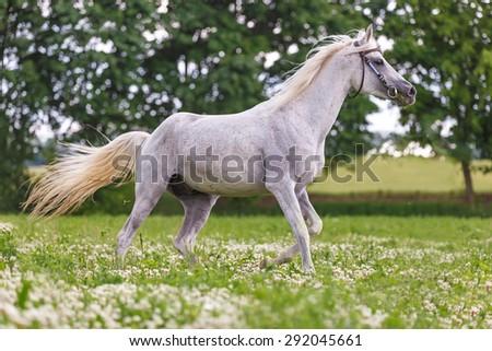 Beautiful white arabian stallion running in summer pasture. - stock photo