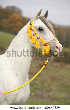 Beautiful white arabian stallion with nice show halter in autumn