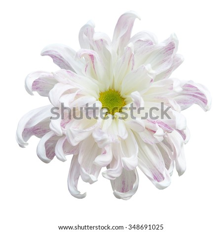 Beautiful white autumn irregular chrysanthemum,meaning big chrysanthemum, isolated on white background - stock photo
