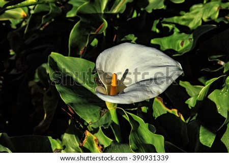 Beautiful white Calla Lily blooming in a large garden - stock photo