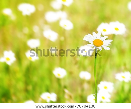 beautiful white camomile in the summer field - stock photo