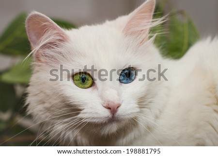 beautiful white cat with different color of eyes - stock photo