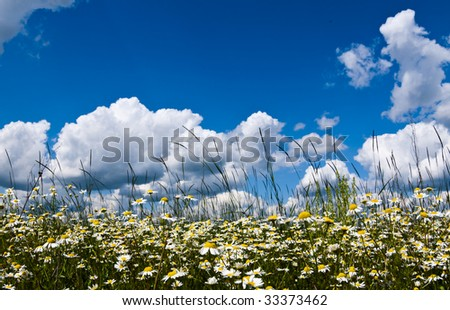 Beautiful white chamomiles on a green meadow - stock photo