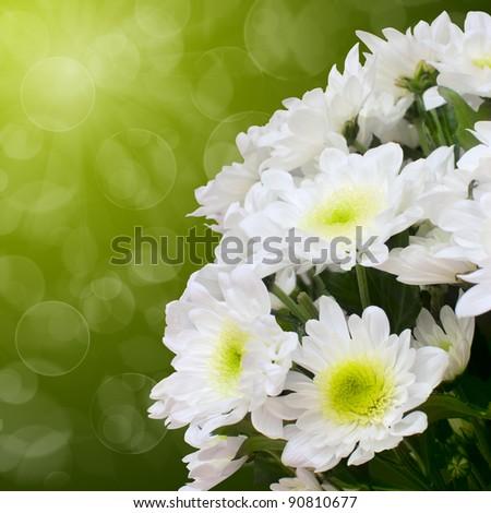 Beautiful white chrysanthemum - stock photo