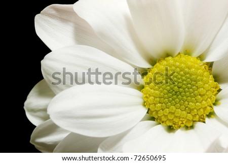 beautiful white chrysanthemum against the black background - stock photo