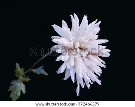 Beautiful white chrysanthemum/Beautiful white chrysanthemum/Beautiful white chrysanthemum - stock photo