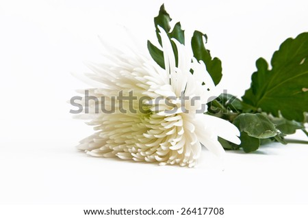 Beautiful white chrysanthemum flower on white background - stock photo