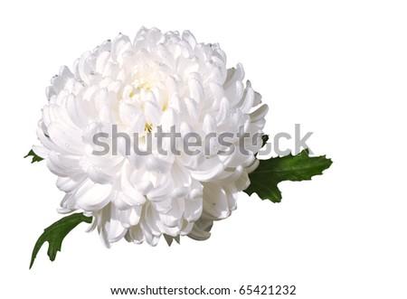 Beautiful white chrysanthemum isolated on the white background - stock photo