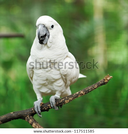 Beautiful white cockatoo parrot bird