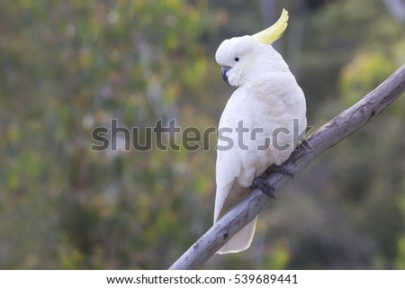 Beautiful White Cockatoo perched on a Tree Branch