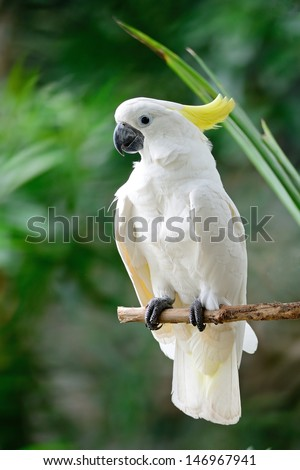 Beautiful white Cockatoo, Sulphur-crested Cockatoo (Cacatua galerita), standing on a branch - stock photo