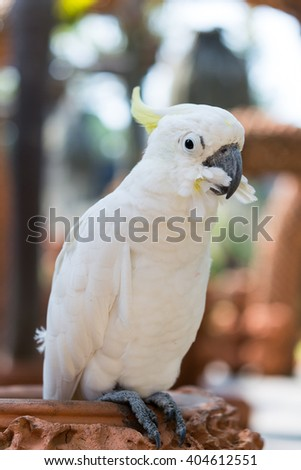 Beautiful white Cockatoo, Sulphur-crested Cockatoo, Lift one leg - stock photo