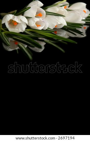 Beautiful white crocus on a black background