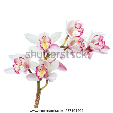 Beautiful white cymbidium flower orchid close up isolated on white background. - stock photo