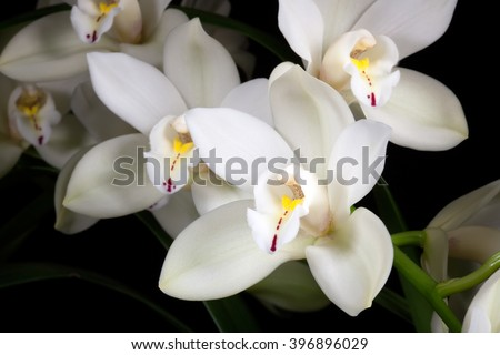 Beautiful white Cymbidium orchid flowers over black background