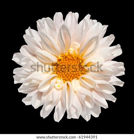 Beautiful White Dahlia Flower with Yellow Center Isolated on Black Background