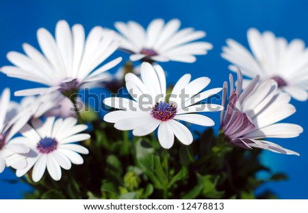 Beautiful white daisy flowers over a brilliant blue background - stock photo