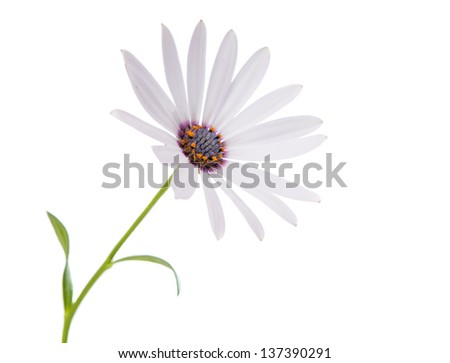beautiful white daisy on a white background - stock photo
