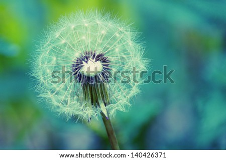 Beautiful white dandelion with seeds on blue background - stock photo