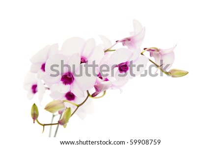 beautiful white  dendrobium orchid with dark purple centers, isolated on white background