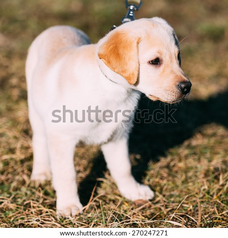 Beautiful White Dog Lab Labrador Retriever Pup Puppy Whelp Outdoor In Spring - stock photo