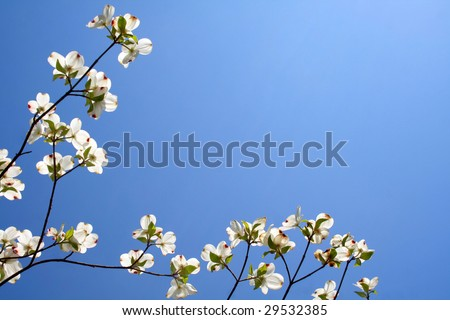 Beautiful white Dogwood blooms captured as a boarder against a blue sky and room for text. - stock photo