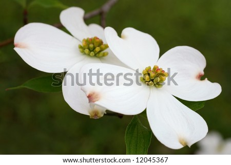 Beautiful white dogwood blossoms.  Close-up with shallow dof. - stock photo