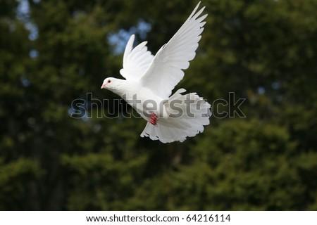 Beautiful white dove in flight, dark green tree background - stock photo