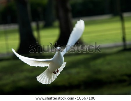 beautiful white dove in flight, holding a small branch to build a nest in spring - stock photo