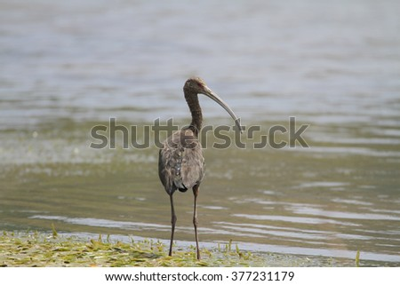 Beautiful White-faced Ibis looking for food at the shore of Gatun Lake near Gamboa, Panama - stock photo