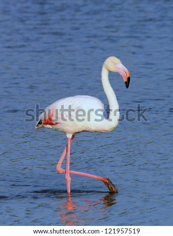 Beautiful white flamingo standing proudly in the water with one leg up - stock photo