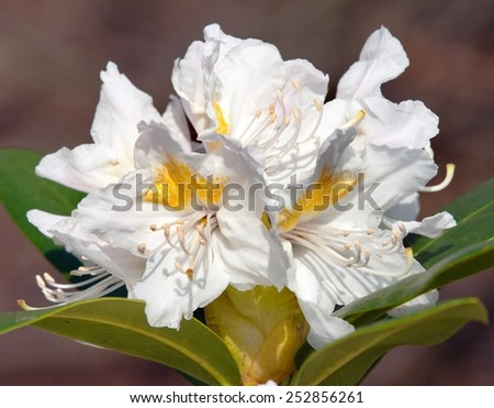Beautiful white flower of rhododendron - stock photo
