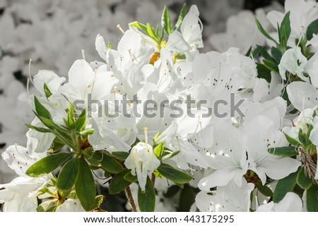 Beautiful white flower, Rhododendron, Azalea. Light shining through petals. Close up of Rhododendron blooms on bush under bright sun. Floral natural backdrop. Many, a lot of blooming azalea flowers. - stock photo