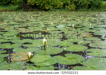 Beautiful white flowers and broad leaves of the White Lotus, also known as the European white waterlily or the white water rose, floating in a small pond at the Bamako Zoo in Mali - stock photo