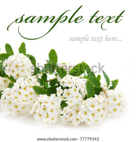 beautiful white flowers isolated on white background - stock photo