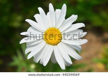 Beautiful white flowers of chrysanthemum on green background - stock photo