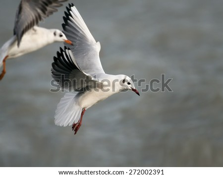 Beautiful white flying gulls above the water - stock photo