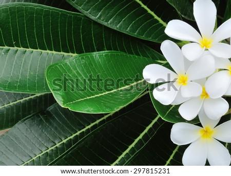beautiful white frangipani flowers - stock photo