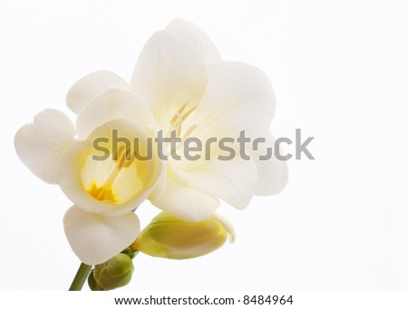beautiful white fresia closeup - stock photo