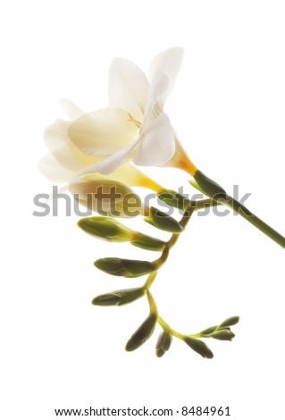 beautiful white fresia closeup isolated on white - stock photo
