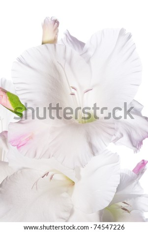 Beautiful White Gladiolus