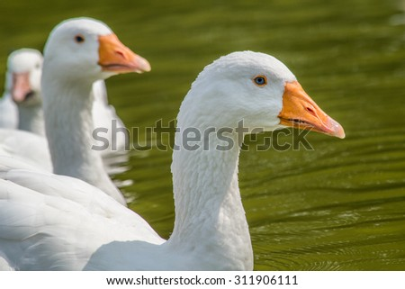 Beautiful white goose in water