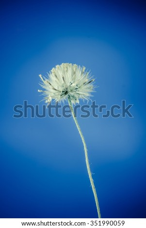Beautiful white grass flower on blue background