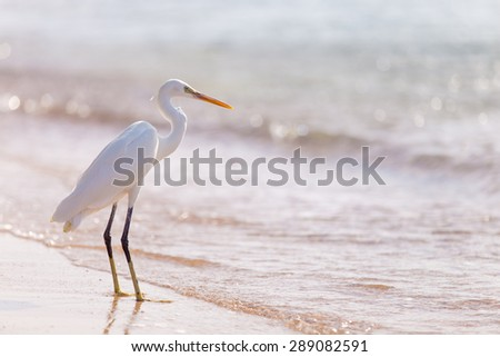 Beautiful white heron with crest standing at sandy seashore - stock photo