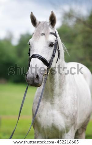 beautiful white horse portrait - stock photo