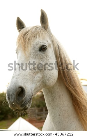 Beautiful white horse soft portrait looking to camera - stock photo