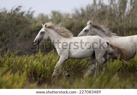 Beautiful white horses running in the field - stock photo