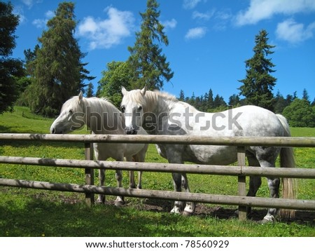 Beautiful white horses standing in their country paddock on a hot summers day
