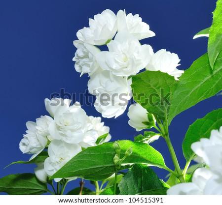 Beautiful White Jasmine Flowers Against Blue Sky Background - stock photo